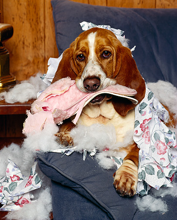 DOG 08 RK0074 22 © Kimball Stock Basset Hound Chester Sitting On Chair With Pillow Stuffing Everywhere Chewing On Slippers