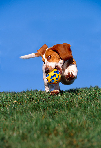 DOG 08 RK0090 05 © Kimball Stock Basset Hound Running On Grass With Toy In Mouth Trees Blue Sky