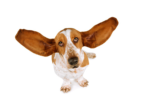 DOG 08 RK0092 08 © Kimball Stock Humorous Shot Of Basset Hound Sitting With Ears Out On White Seamless