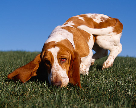 DOG 08 RK0098 01 © Kimball Stock Basset Hound Sniffing Grass