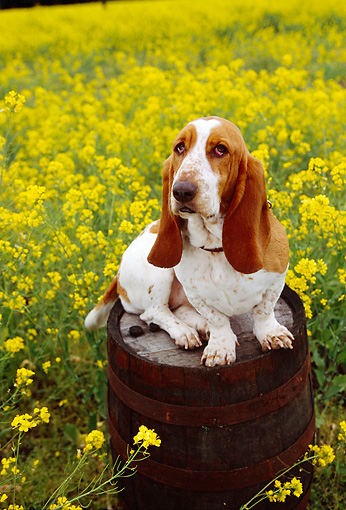 DOG 08 RK0103 13 © Kimball Stock Basset Hound Sitting On Barrel In Yellow Flower Field