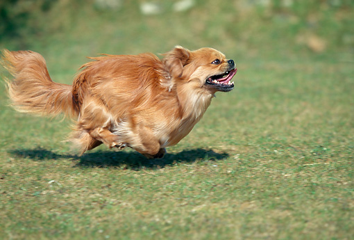 DOG 09 AB0001 01 © Kimball Stock Tibetan Spaniel Running On Grass