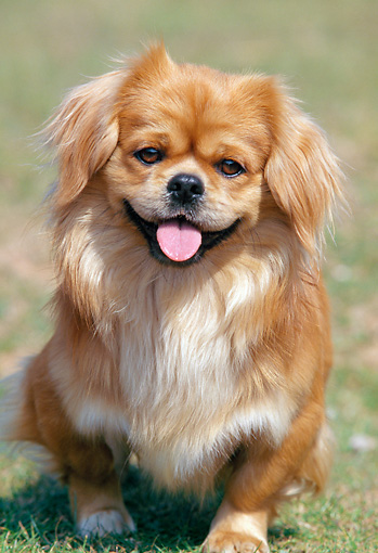 DOG 09 AB0002 01 © Kimball Stock Portrait Of Tibetan Spaniel Sitting On Grass