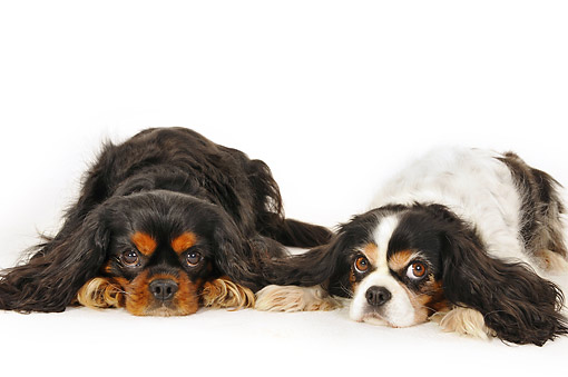 DOG 09 AC0003 01 © Kimball Stock Cavalier King Charles Spaniels Laying In Studio