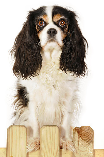 DOG 09 AC0004 01 © Kimball Stock Cavalier King Charles Spaniel Standing In Studio