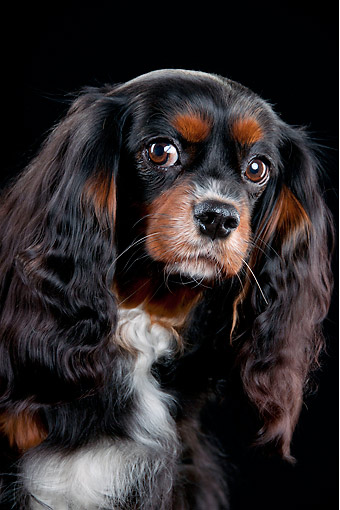 DOG 09 AC0005 01 © Kimball Stock Cavalier King Charles Spaniel Portrait In Studio