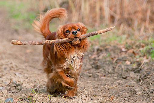 DOG 09 AC0006 01 © Kimball Stock Cavalier King Charles Spaniel Walking With Stick In Mouth