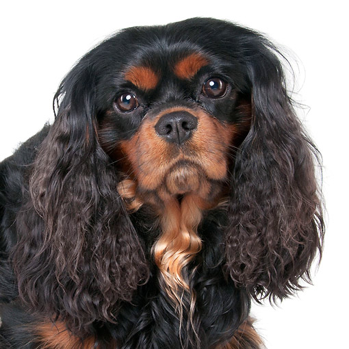 DOG 09 AC0007 01 © Kimball Stock Cavalier King Charles Spaniel Male Portrait In Studio