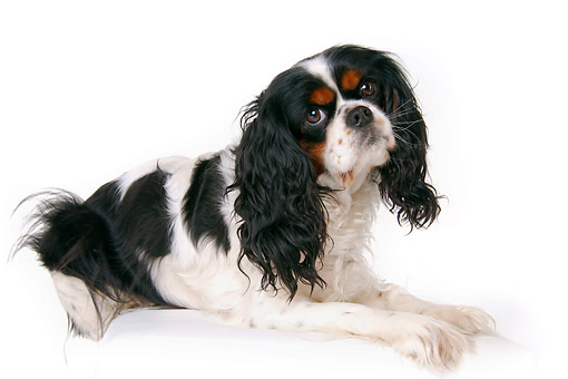 DOG 09 AC0008 01 © Kimball Stock Cavalier King Charles Spaniel Male Portrait In Studio