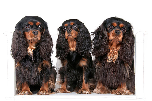 DOG 09 AC0010 01 © Kimball Stock Cavalier King Charles Spaniels In Studio