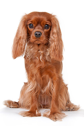 DOG 09 AC0011 01 © Kimball Stock Cavalier King Charles Spaniel Female Sitting In Studio