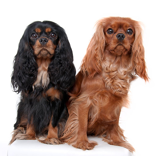 DOG 09 AC0012 01 © Kimball Stock Cavalier King Charles Spaniels Sitting In Studio