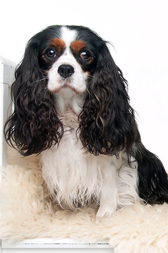 DOG 09 AC0013 01 © Kimball Stock Cavalier King Charles Spaniel Sitting In Studio