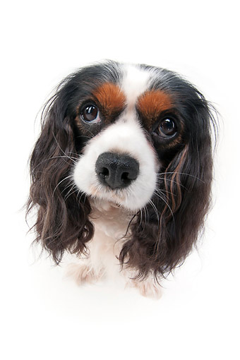 DOG 09 AC0014 01 © Kimball Stock Cavalier King Charles Spaniel Sitting In Studio