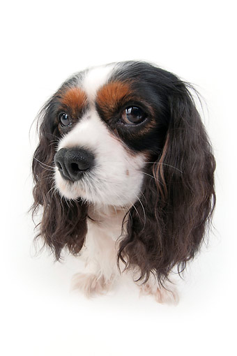 DOG 09 AC0015 01 © Kimball Stock Cavalier King Charles Spaniel Sitting In Studio