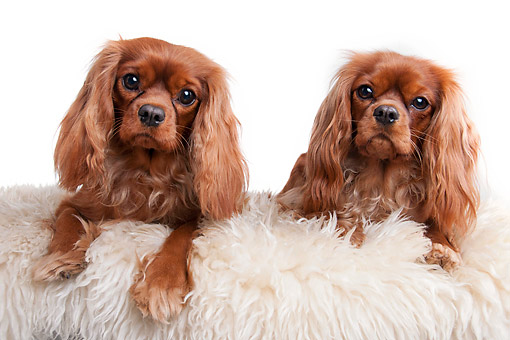 DOG 09 AC0016 01 © Kimball Stock Cavalier King Charles Spaniels Laying On Fuzzy Goodness In Studio