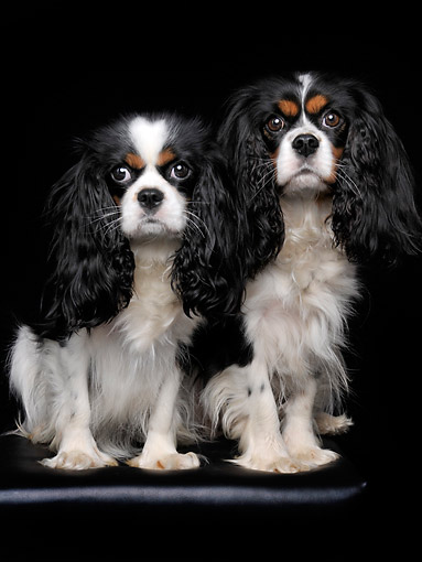 DOG 09 AC0018 01 © Kimball Stock Cavalier King Charles Females In Studio
