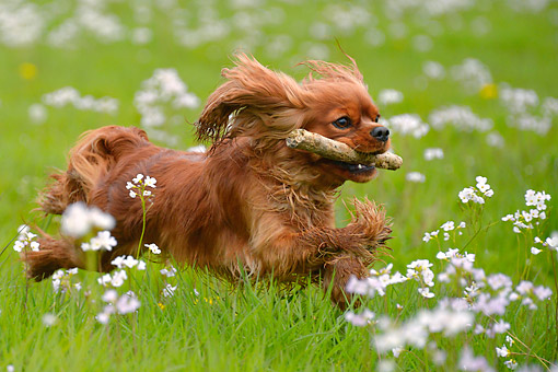 DOG 09 AC0022 01 © Kimball Stock Cavalier King Charles Spaniel Female Running With Stick In Grass