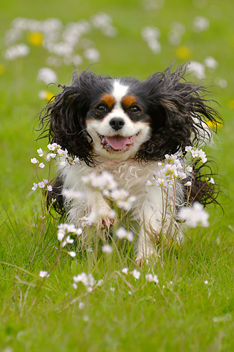 DOG 09 AC0023 01 © Kimball Stock Cavalier King Charles Spaniel Female In Grass