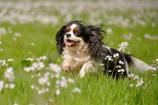 DOG 09 AC0024 01 © Kimball Stock Cavalier King Charles Spaniel Female In Grass