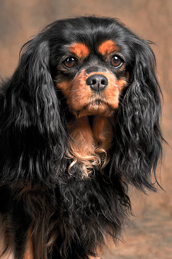 DOG 09 AC0025 01 © Kimball Stock Cavalier King Charles Spaniel Female Portrait In Studio