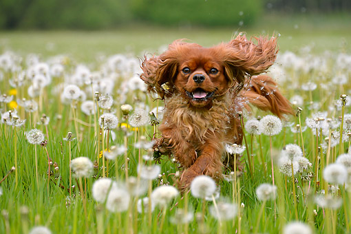 DOG 09 AC0026 01 © Kimball Stock Cavalier King Charles Spaniel Running Wildly Through Grass And Flowers