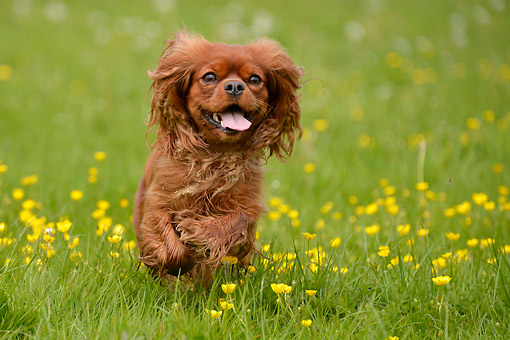 DOG 09 AC0027 01 © Kimball Stock Cavalier King Charles Spaniel Playing In Grass And Flowers