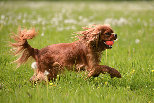 DOG 09 AC0028 01 © Kimball Stock Cavalier King Charles Spaniel Playing In Grass And Flowers