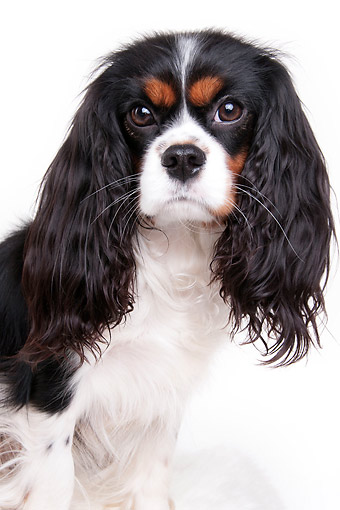 DOG 09 AC0031 01 © Kimball Stock Cavalier King Charles Spaniel Adult Female Portrait In Studio