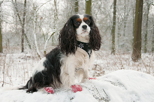 DOG 09 AC0032 01 © Kimball Stock Cavalier King Charles Spaniel Adult Female Standing With Mittens And Scarf In Snow