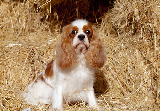 DOG 09 CB0003 01 © Kimball Stock Cavalier King Charles Spaniel Sitting In Hay