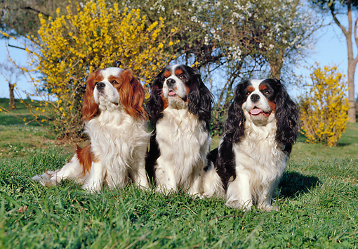 DOG 09 CB0007 01 © Kimball Stock Three Cavalier King Charles Spaniels Sitting On Grass