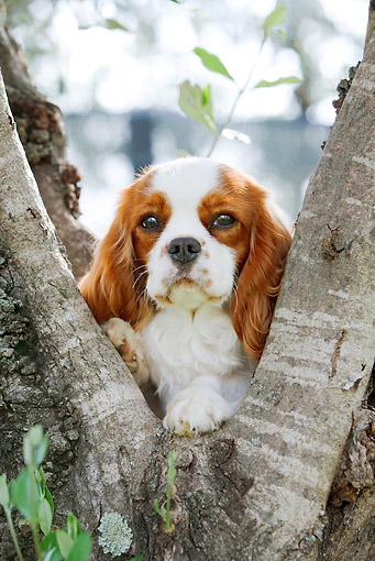 DOG 09 CB0018 01 © Kimball Stock Cavalier King Charles Spaniel Sitting In Tree