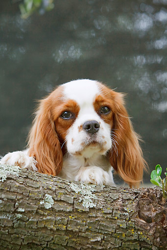 DOG 09 CB0019 01 © Kimball Stock Cavalier King Charles Spaniel Sitting By Log