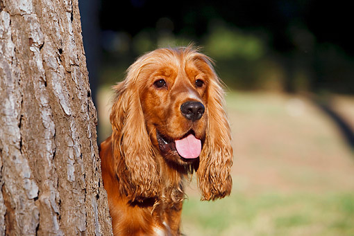 DOG 09 CB0020 01 © Kimball Stock Portrait Of English Cocker Spaniel By Tree Trunk
