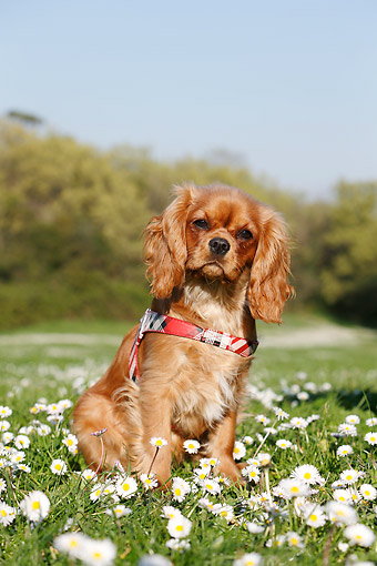DOG 09 CB0021 01 © Kimball Stock Cavalier King Charles Spaniel Sitting Grass With Flowers