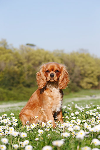 DOG 09 CB0022 01 © Kimball Stock Cavalier King Charles Spaniel Sitting Grass With Flowers