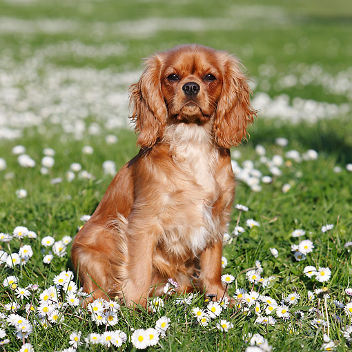 DOG 09 CB0023 01 © Kimball Stock Cavalier King Charles Spaniel Sitting Grass With Flowers