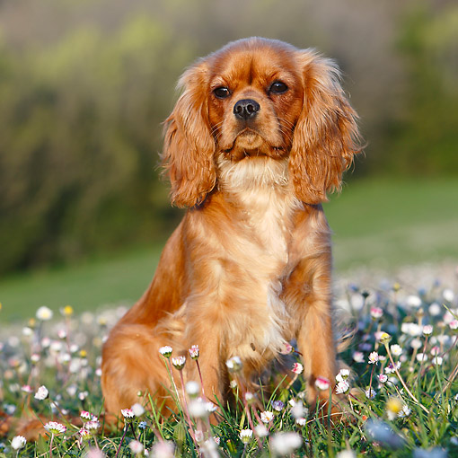 DOG 09 CB0024 01 © Kimball Stock Cavalier King Charles Spaniel Sitting Grass With Flowers