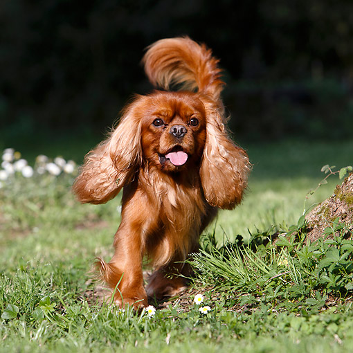 DOG 09 CB0027 01 © Kimball Stock Cavalier King Charles Spaniel Walking In Grass By Tree