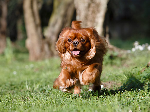 DOG 09 CB0028 01 © Kimball Stock Cavalier King Charles Spaniel Running In Grass By Tree