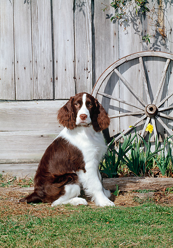 DOG 09 CE0032 01 © Kimball Stock Springer Spaniel Sitting On Lawn By Wooden Fence And Wheel