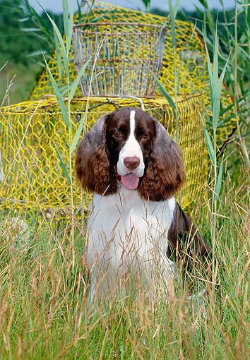 DOG 09 CE0033 01 © Kimball Stock Springer Spaniel Sitting In Tall Grass By Wire Baskets