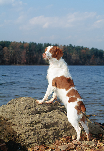 DOG 09 CE0034 01 © Kimball Stock Brittany Spaniel Leaning On Rock By Lake