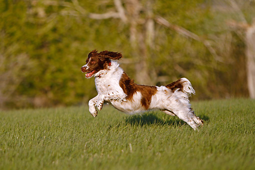 DOG 09 DB0005 01 © Kimball Stock Springer Spaniel Running Through Field By Trees