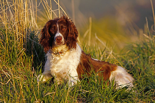 DOG 09 DB0006 01 © Kimball Stock Springer Spaniel Laying In Grass At Sunset