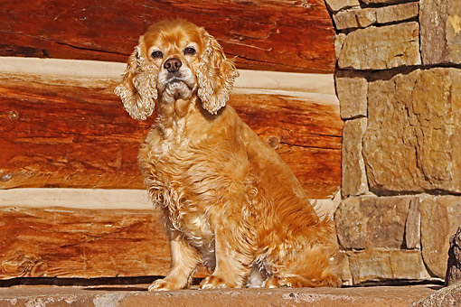 DOG 09 DB0013 01 © Kimball Stock Cocker Spaniel Sitting On Stone Steps By Cabin