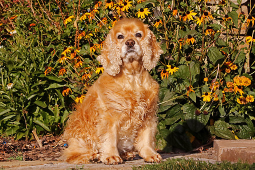 DOG 09 DB0014 01 © Kimball Stock Cocker Spaniel Sitting On Stone Steps By Flowers