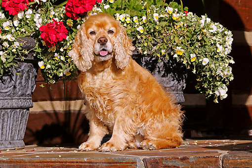 DOG 09 DB0016 01 © Kimball Stock Cocker Spaniel Sitting In Front Of Flowers