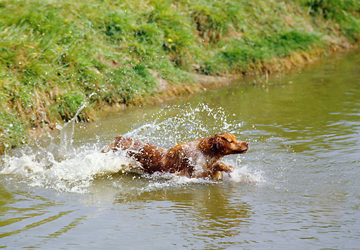 DOG 09 GL0001 01 © Kimball Stock Brittany Spaniel Jumping Into Lake